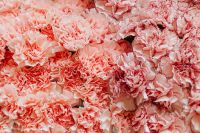 Kaboompics - Various pink fresh flowers (carnations)