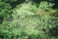 Kaboompics - Blooming Fennel