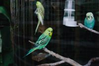 Kaboompics - Cute colorful budgies in cage