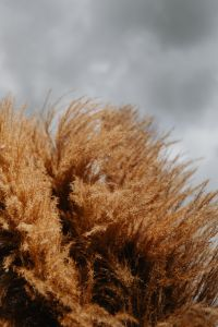 Kaboompics - Pampas grass against the background of a cloudy sky