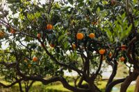 Kaboompics - An orange tree in the garden of Villa Cimbrone in Ravello, Amalfi Coast, Italy