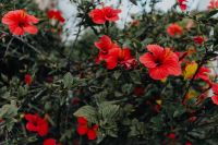 Kaboompics - A red hibiscus flowers