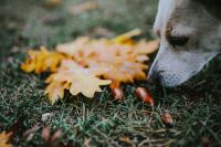 Kaboompics - Dog with yellow leaves